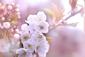 Die schönsten Blumenarrangements für Deine Vintage-Hochzeit - Kirschbaumblüten