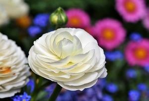 Die schönsten Blumenarrangements für Deine Vintage-Hochzeit - Ranunkel